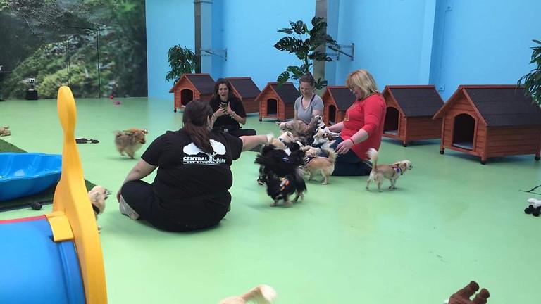 Chihuahua Playgroup