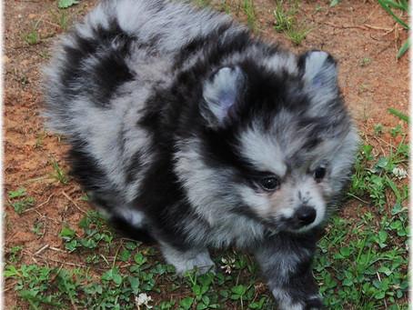 Rare Colored Pomeranians and Chihuahuas