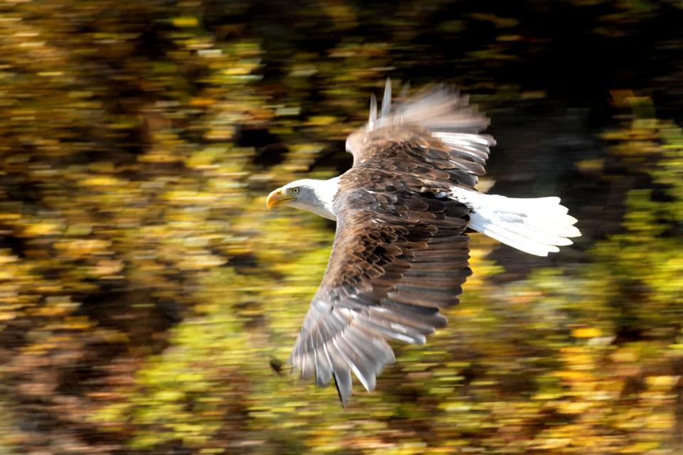 09-28-09 Bald Eagle 0039