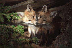 Foxes Baby Kissing