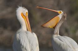 06-01-12 Chatfield State Park-Birds 0094