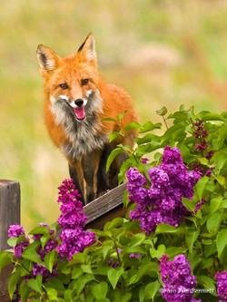 Red Fox-brush__s
