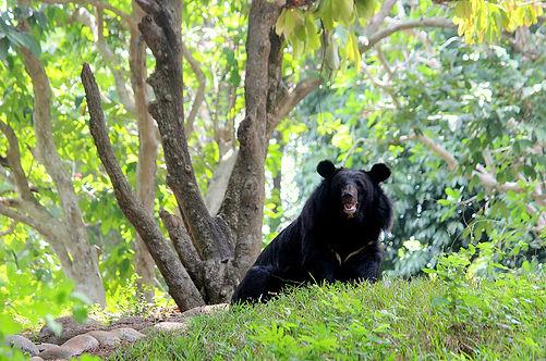 Black_bear_in_Thiruvananthapuram_Zoo.JPG