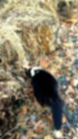 Large Adult Skunk In Yard
