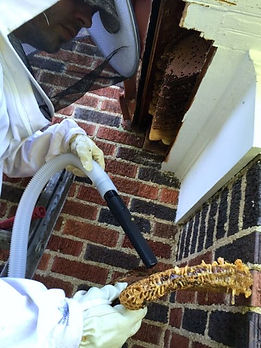 Humane Honey Bee Removal