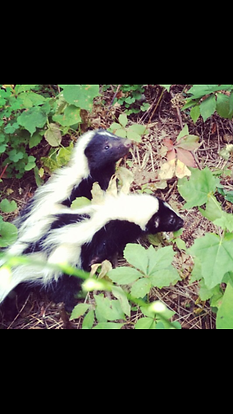 Two Baby Skunks