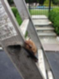 Big Brown Bat, 24/7 Bat Removal