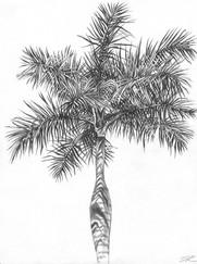 Palm Tree in Brazil