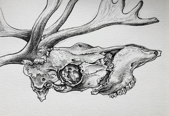 Reindeer's skull