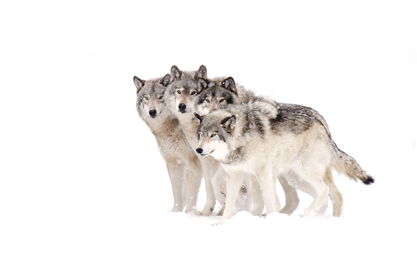 Four Timber wolves or grey wolves Canis lupus timber wolf pack isolated on white backgroun
