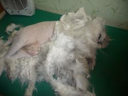 стрижка кошки с транквилизатором