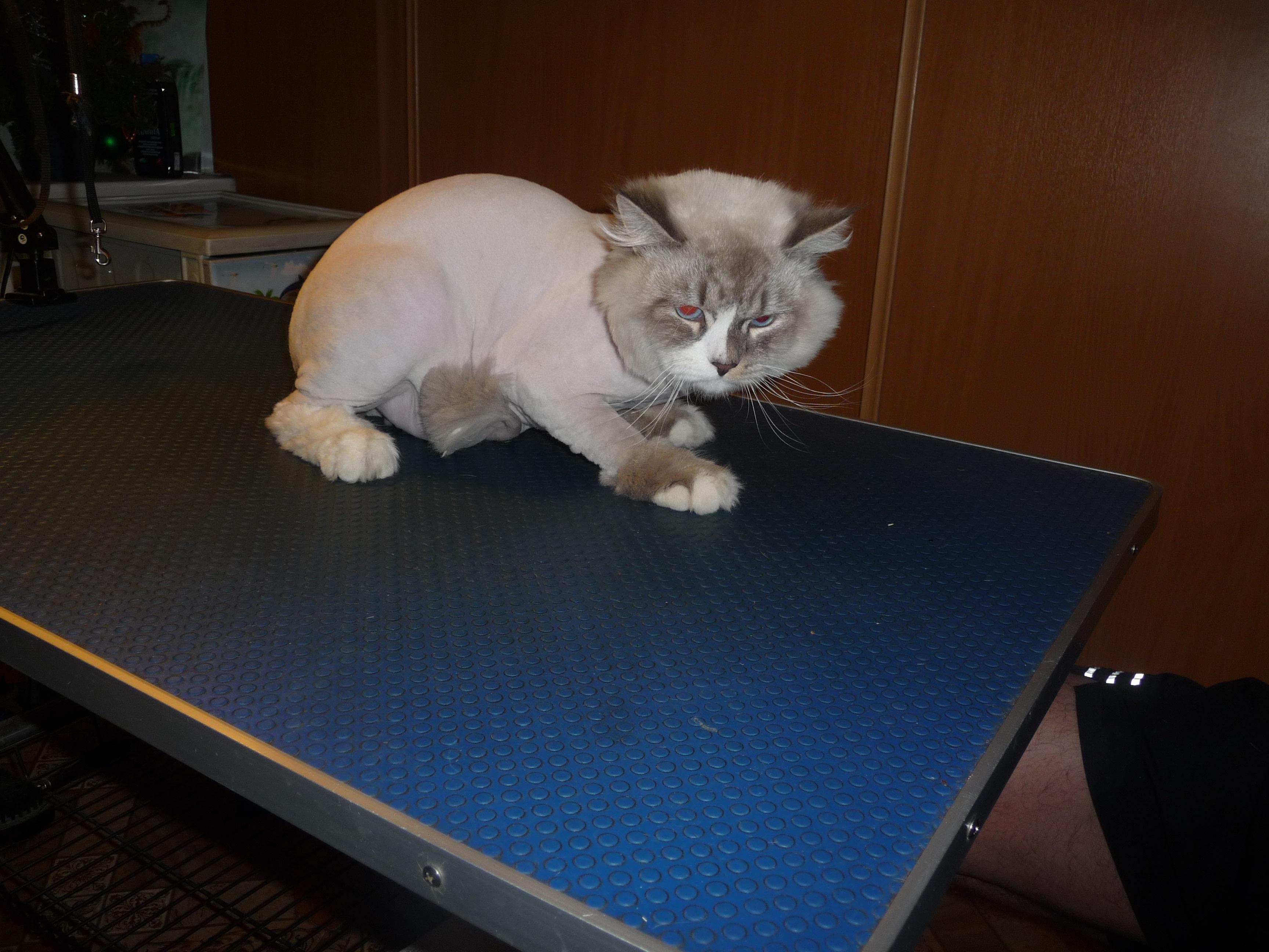 стрижка кошки лев