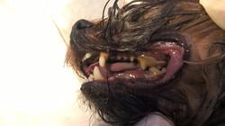 чистка зубов Йорку от зубного камня