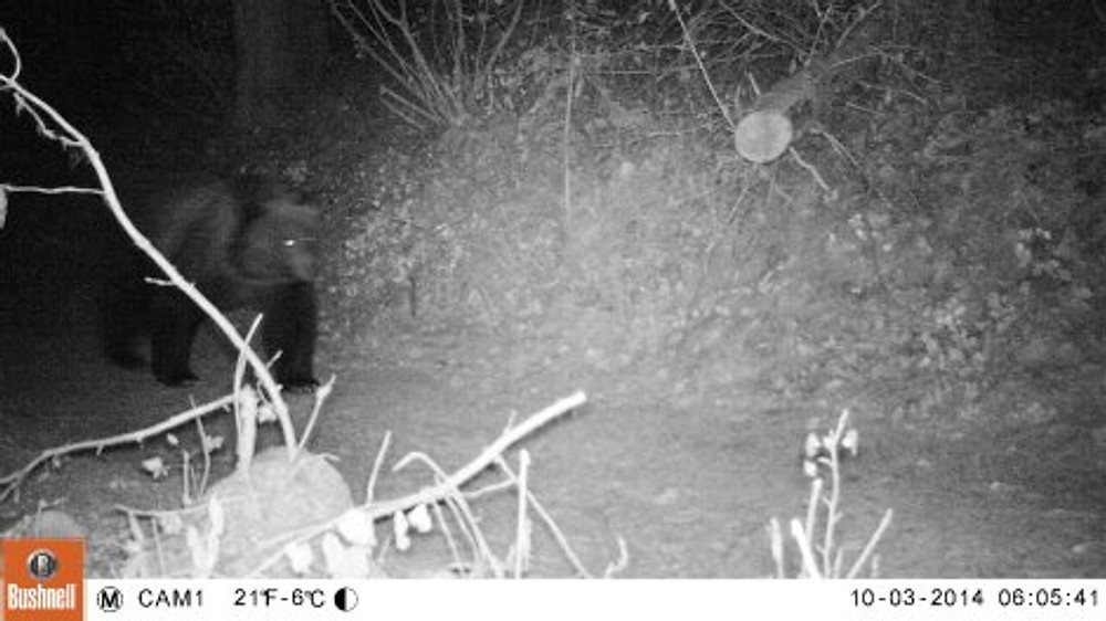 A grizzly bear on the trail at night. I have a few of these night time pics!