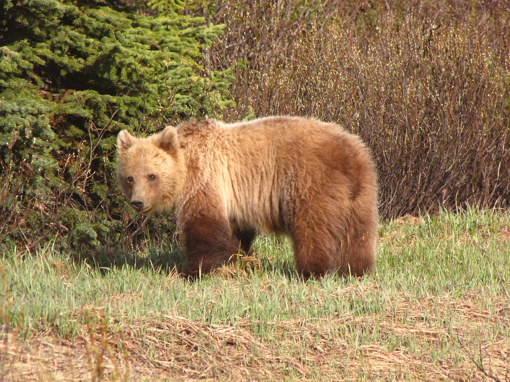 A little 3 year old female grizzly on the Icefields Parkway at the end of a great day in the field.