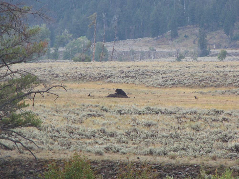 A male grizzly on a bison carcass about 100m from the road. Not the best picture, but a magical viewing experience!