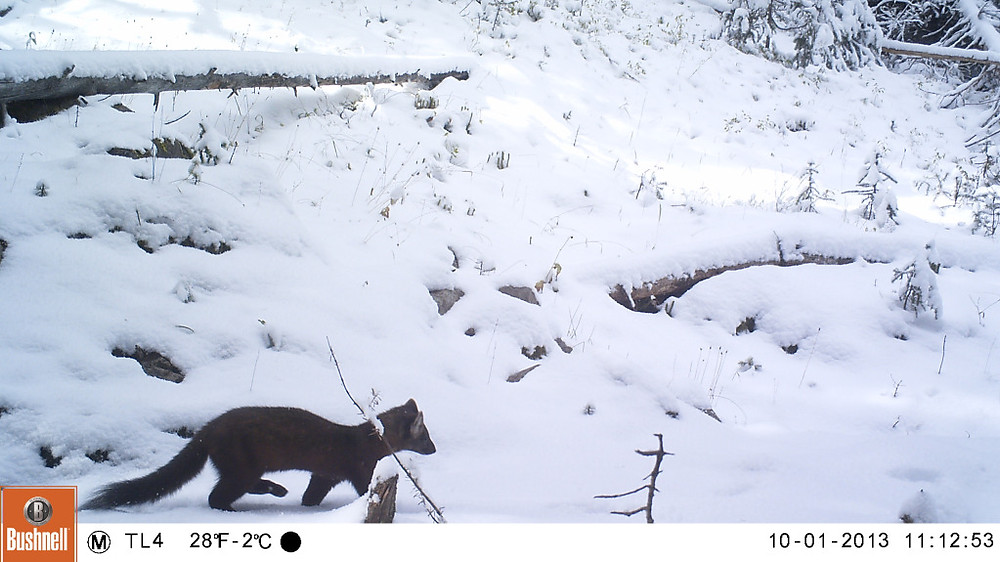 Not always bears are captured by the remote cameras. This last camera of the season captured this little critter for a walk in the snow.