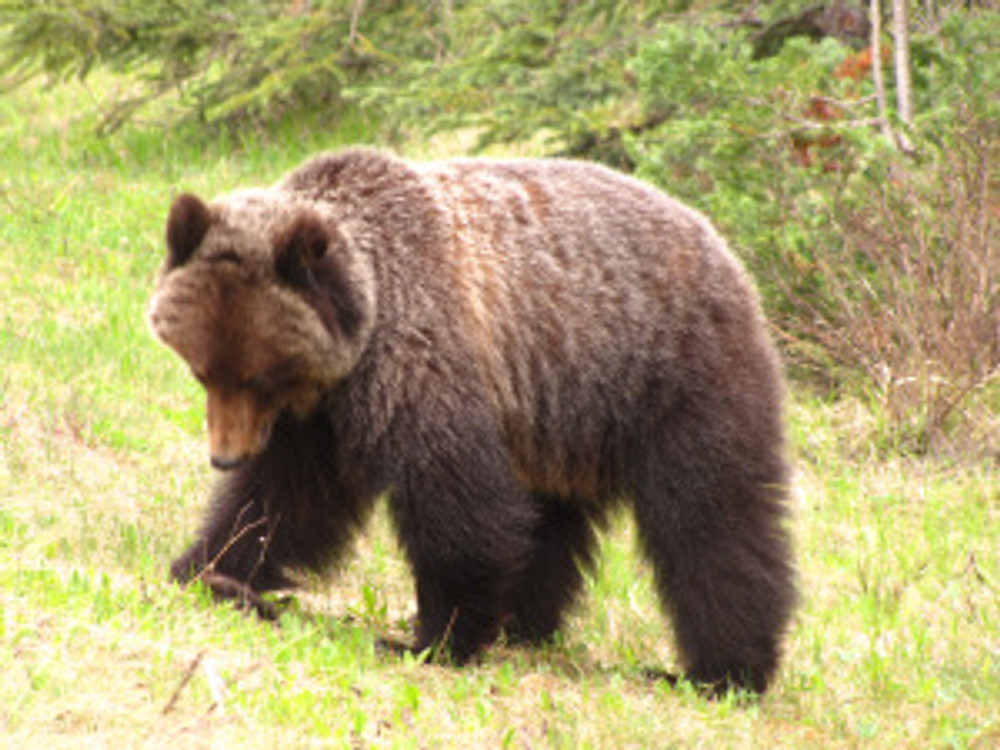 Seeing a bear in Banff probably means you're already closer to it and have a higher chance of impacting its behaviour.