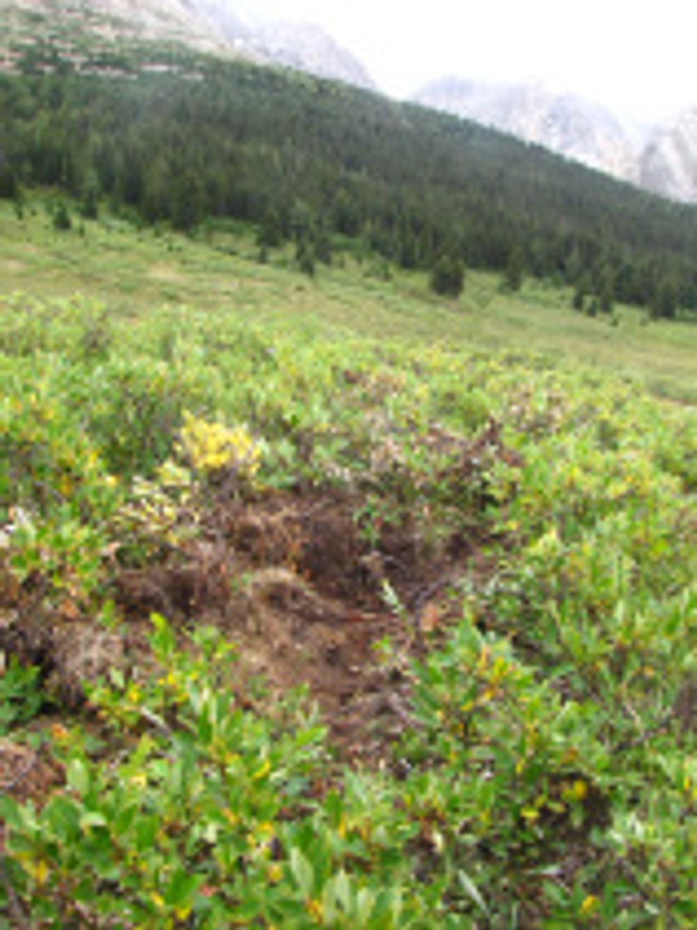 A bear dig site - probably for roots or other plant yummyness.