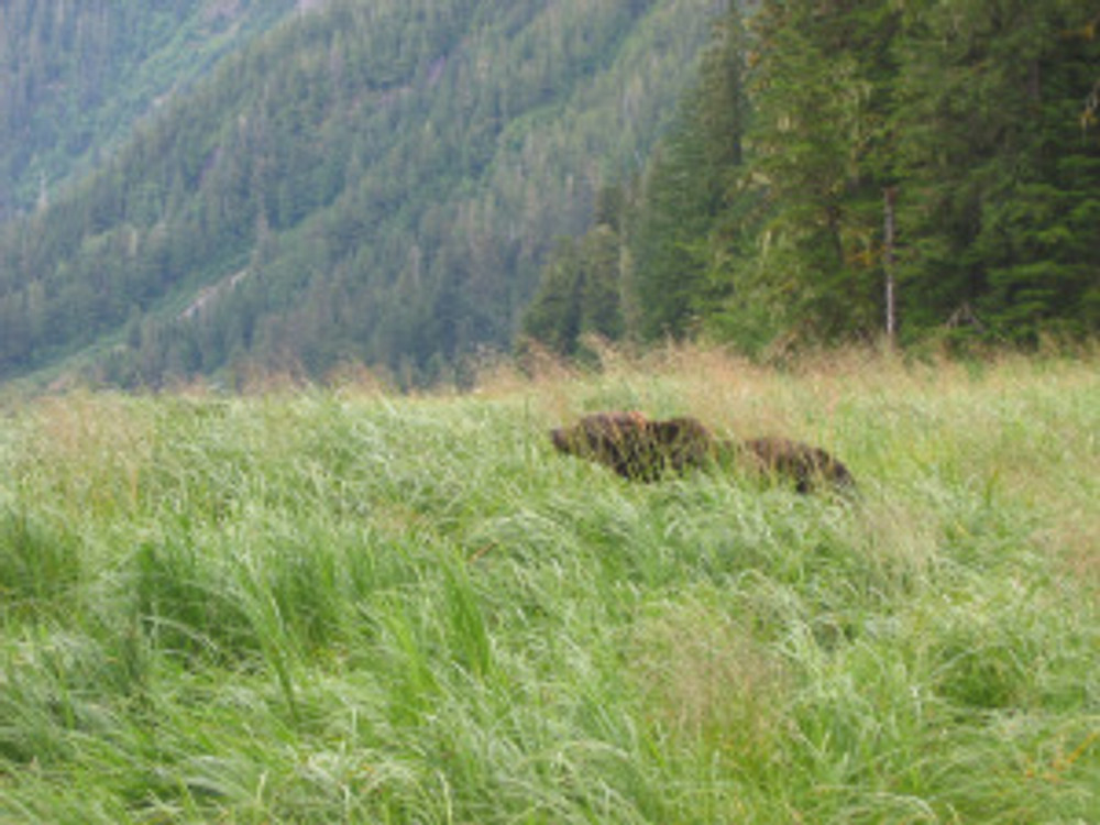 Can't see the bear for the grass - GPS can help that
