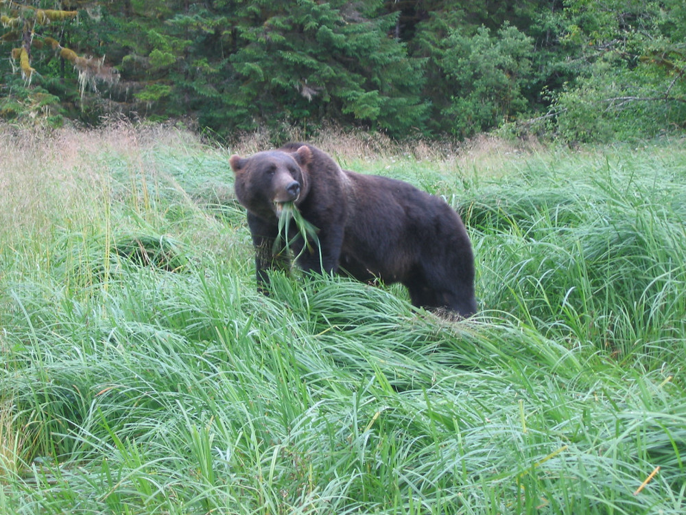 """A bear I called """"Golden Ears"""" from my work in the Khutzeymateen in BC during my masters research"""