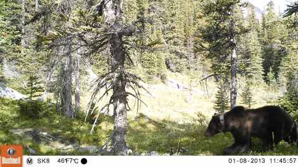 At the end of the day, though, I've got remember that it's all about this. A grizzly bear walking down a hiking trail in the middle of the day.
