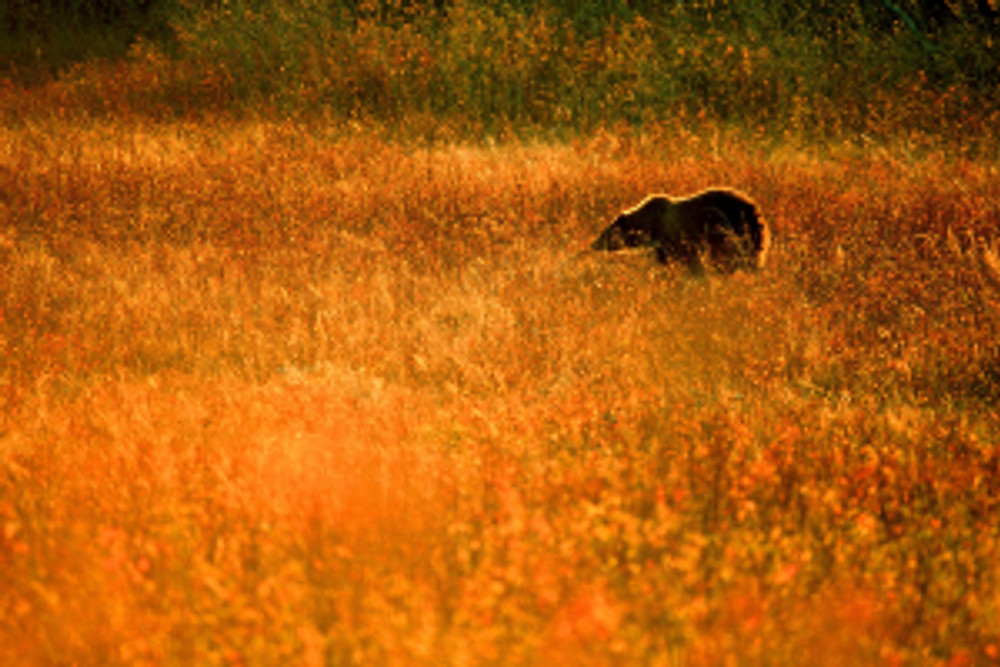 Even watching a bear from this distance can change its behaviour.