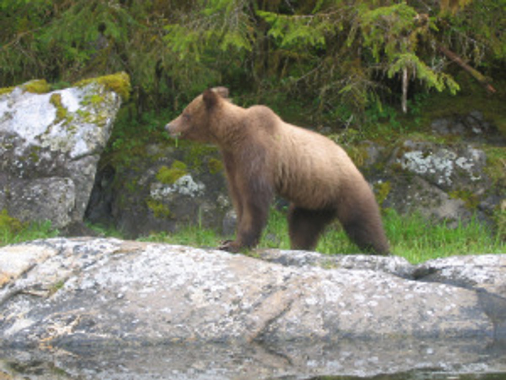Bears have been restricted to mostly mountainous environments, but their shoulder hump actually evolved from a life on the prairies.