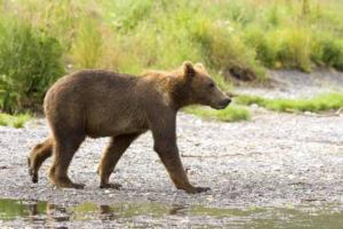 griz_cub walking_Steve Hildebrand
