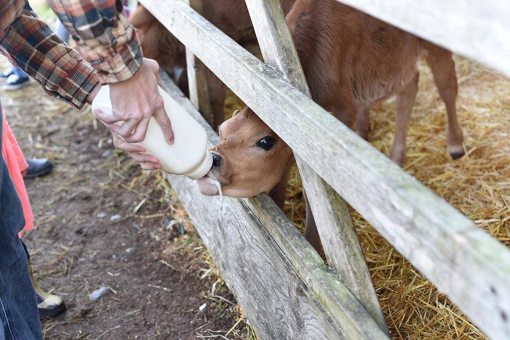 Baby calf drinking from a milk bottle