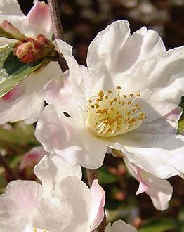 camellia newsletter photo.jpg