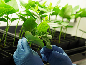 New room-temperature COVID-19 vaccines are grown in plants and bacteria