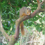 Garden Squirrel at The Gallery-St Lucia