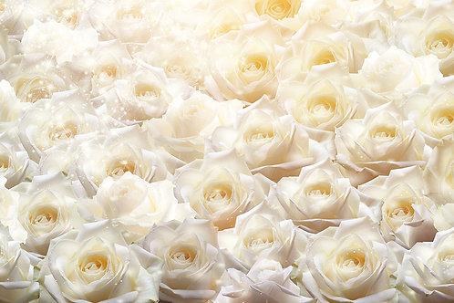 3d фотообои - Белые розы