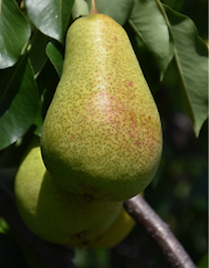 Pear_edited.png