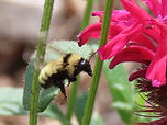 Yellow bumblebee from Pierce Butler July 2020.jpg