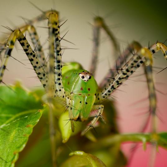 Che Araña