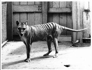 tasmanian-tiger-factsNewpic.jpg