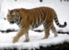 Tiger wikipedia.jpg