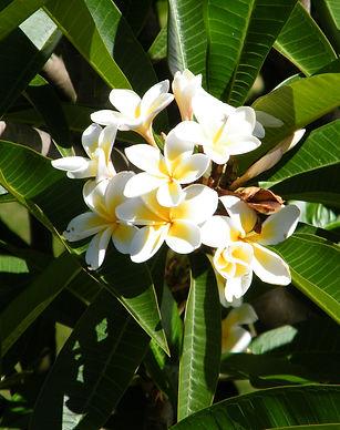 Madagascar_Fleurs de frangipanier.JPG