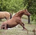 sidebone-horse.jpg