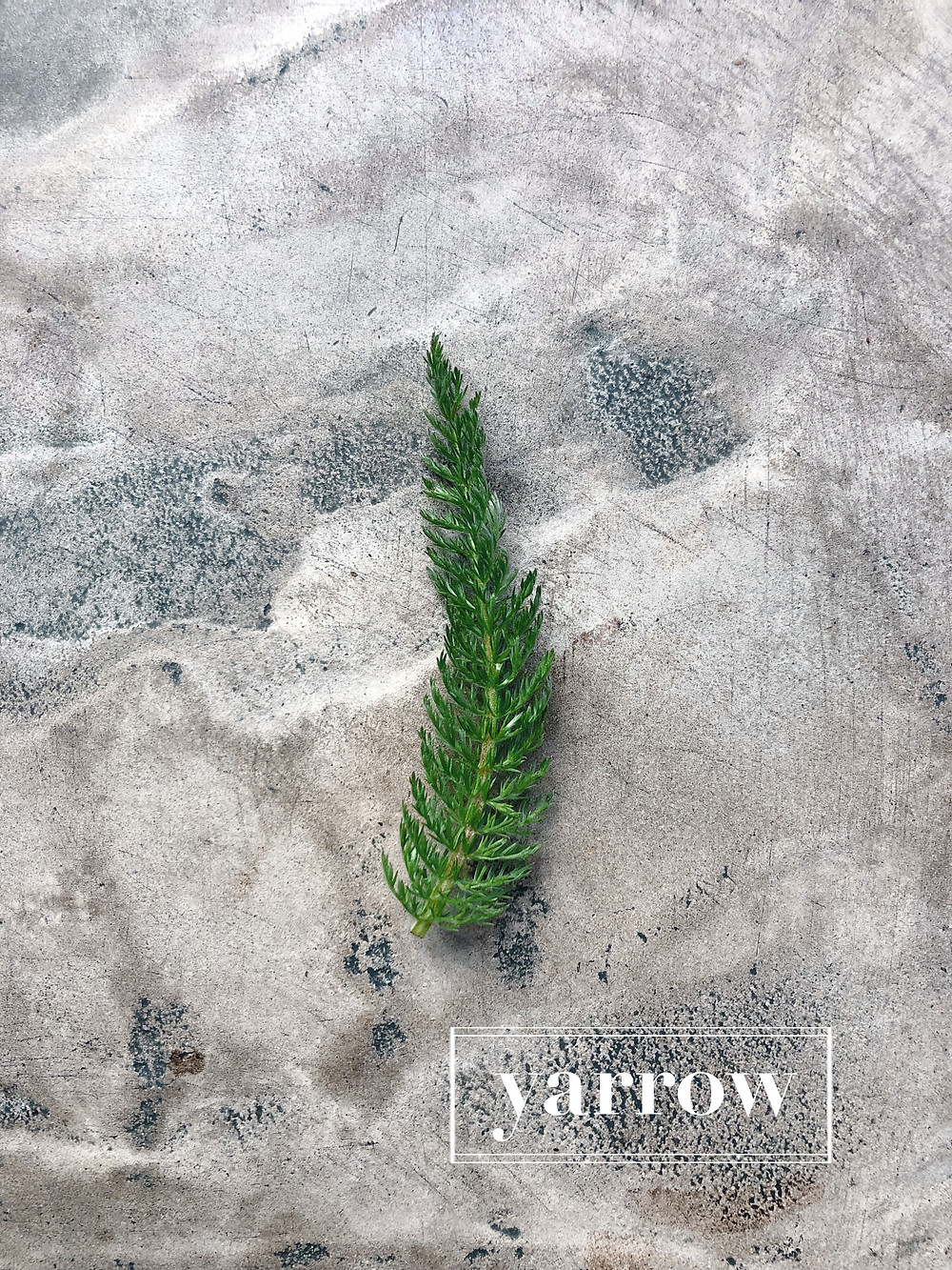 Foraging for yarrow