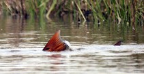 Fly Fishing Redfish Tail.jpg