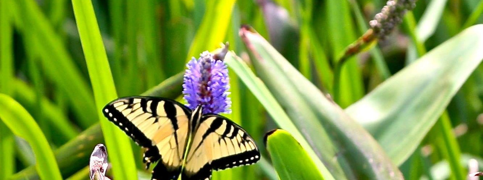 Tiger Swallowtail Butterly on a Pickerel Weed Plant