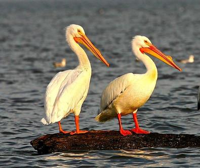 White Pelicans.jpg