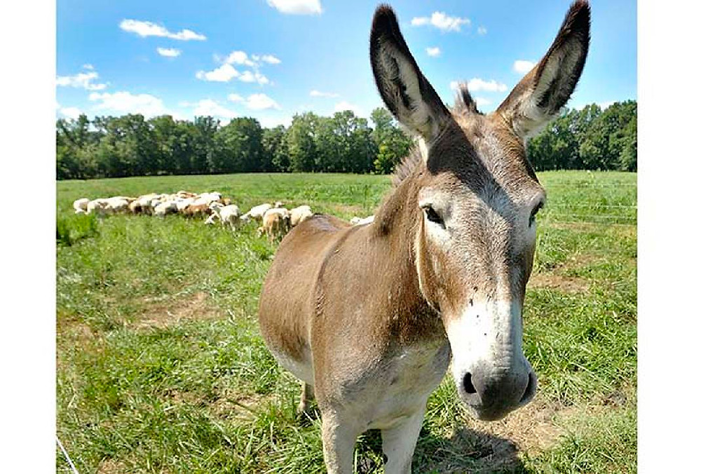 LU_Guardian_donkeys_5_t1070_h6d2e03344f9b3919ef80319a6b09776645d3cc07
