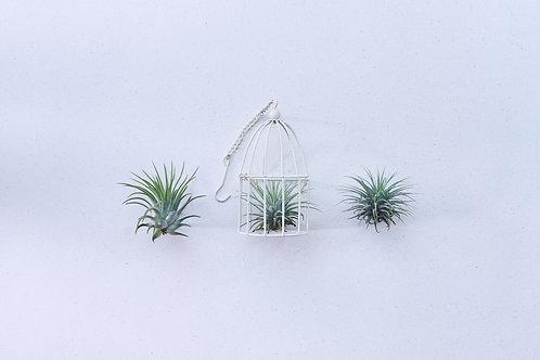 AIR PLANTS l TILLANDSIA