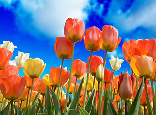 Pictures  Tulips and blue sky.jpg