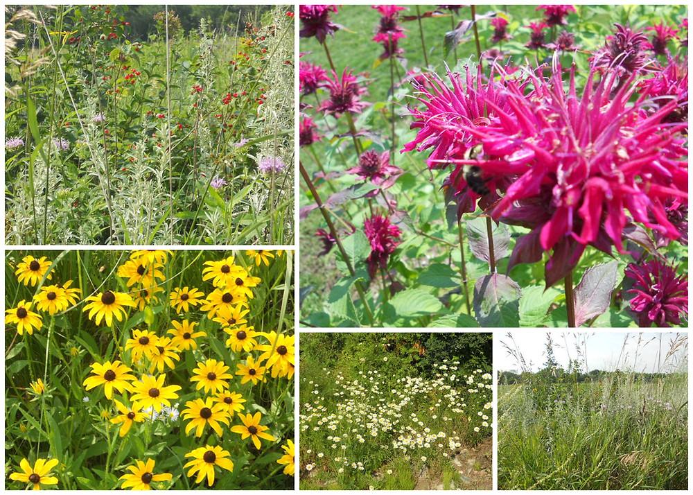 Prairie plant collage.jpg