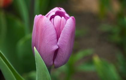 Tulip Bulb